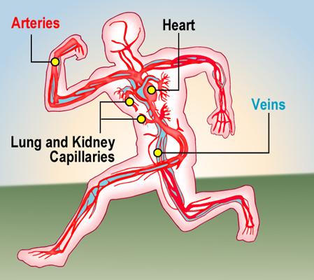 Circulatory_L