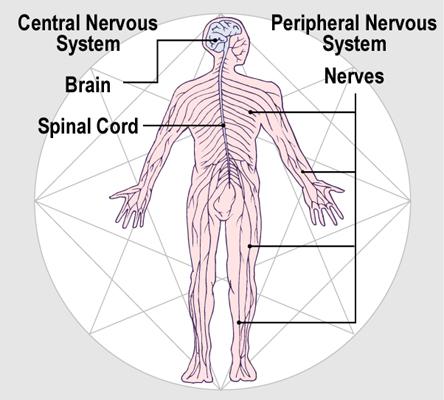 Nerve_L