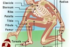 Skeleton_L
