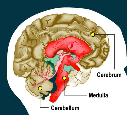 Brain_L