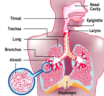 Respiratory_L