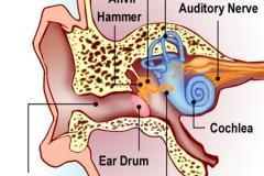 Ear_L